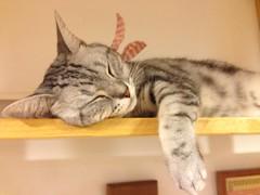 Having a nap (j-fi) Tags: cats cute strange fur feline asia fat korea odd seoul aww catcafe