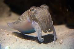 sepia officinalis (Joachim S. Mller) Tags: sepia germany deutschland zoo hessen frankfurt squid cuttlefish frankfurtammain frankfurter tintenfisch zoofrankfurt exotarium sepiaofficinalis commoncuttlefish kopffsler gewhnlichertintenfisch europeancommoncuttlefish
