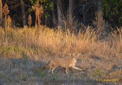 October 11, 2015 - A coyote out for a morning run in Thornton.  (Ed Dalton)