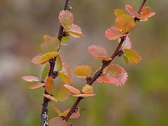 Petites feuilles automnales (sosivov) Tags: autumn leaves forest sweden naturereserve dwarfbirch betulanana trolltjärn