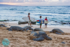 hawaii life (brandon.vincent) Tags: ocean life sunset beach hawaii surf surfer maui turtles honu