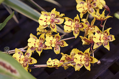 (oag.photography) Tags: yellow orchids greenleafs colourdots