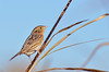 Le Conte's Sparrow (malcolmgold) Tags: usa kansas shawneemissionpark 2015 johnsoncounty