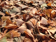 22-Oct  Ginko Leaves (ellenmac11) Tags: day295 day295365 365the2015edition 3652015 22oct15