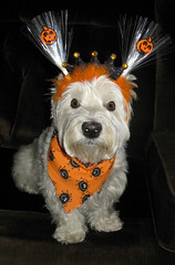 """10/12B ~ Riley - """"Halloween Time"""" (ellenc995) Tags: halloween riley october trickortreat westie westhighlandwhiteterrier ruby3 coth supershot abigfave pet500 pet100 pet1000 pet1500 platinumheartaward rubyphotographer 100commentgroup alittlebeauty challengeclub coth5 thesunshinegroup sunrays5 12monthsfordogs15"""