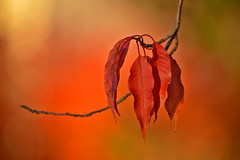 Autumn colors... Autumn leaves (L.Lahtinen (nature photography)) Tags: autumn lokakuu october leaves bokeh red light nature nikon flickr luonto syksy lehdet autumncolors plant autumnleaves fallcolors d3200 nikond3200 55300mm europe