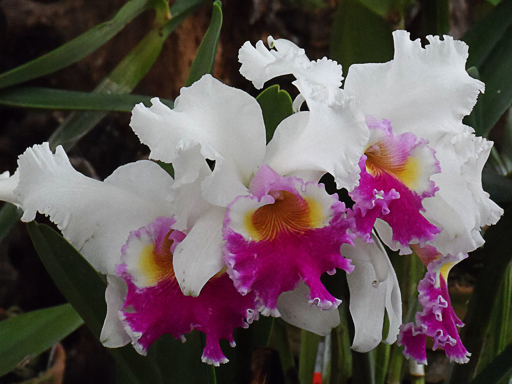 The World's Best Photos of orquidea and zygopetalum ...