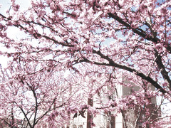 Fresh Spring (erykah36) Tags: life new city pink flowers blue trees light sky usa brown white nature america out cherry landscape spring soft natural branches south united blossoms columbia growth pastels carolina bloom glowing states blooming branching