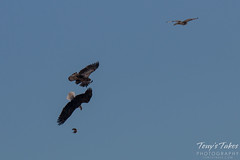 Bald Eagles Battle in the Air - 3 of 12