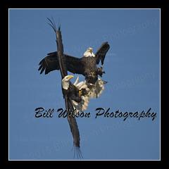 Fish Fight (wildlifephotonj) Tags: bird nature birds eagle wildlife baldeagle raptor eagles raptors naturephotography baldeagles naturephotos wildlifephotography wildlifephotos natureprints