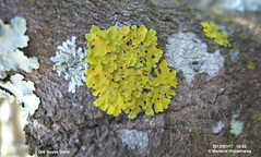Xanthoria parietina,  Muizenberg - 2012] (marlandza) Tags: lichen xanthoriaparietina xanthoria foliose corticolous
