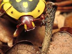 Pachnoda sp. (KOLLEKCIONER) Tags: beetle coleoptera cetoniinae