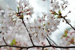 Cerasus  yedoensis 'Somei-yoshino' (Masaoki Hirai) Tags: prunus cerasus rosaceae makroplanart2100zf