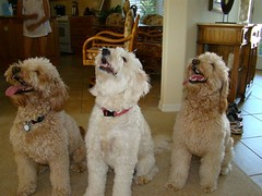 indy-lacey-and-popcorn-ready-for-a-treat--such-well-behaved-doodles-_4605900331_o