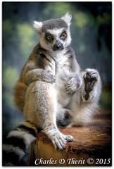 Ring-tailed Lemur (ctofcsco) Tags: 1200 1d 1div 20 200mm adorable black canon colorado cute denver denverzoo ef200mm ef200mmf2lisusm eos1dmarkiv eos1d explore f2 gray indoor iso800 lemur lemurcatta little mark4 markiv monkey 2015 animal bokeh explored geo:lat=3975024770 geo:lon=10494968870 geotagged nature northamerica statecapitol telephoto vinestreethouses wildlife wwwdenverzooorg zoo ringtailed ringtailedlemur striped unitedstates usa white best wonderful perfect fabulous great photo pic picture image photograph