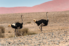 Ostrich Couple, Namibian Desert, Africa (chasingthelight10) Tags: africa travel nature photography landscapes countryside desert wildlife events places things ostrich namibia sossusvlei namibnaukluftnationalpark
