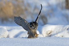 Northern Hawk Owl (Peter Stahl Photography) Tags: winter snow bird action owl northernhawkowl