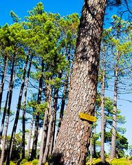 Bonheur! (Adri1t) Tags: bonheur trees arbres nature soleil corse piscia di gallo randonnees