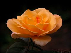 I think this is the most extraordinary collection of talent, of human knowledge, that has ever been gathered together at the White House.... (itucker, thanks for 3.2+ million views!) Tags: rose oregon easygoing macro portlandinternationalrosetestgarden