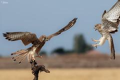Common Kestrel Fight (Dave 5533) Tags: commonkestrel bird birdofprey wild nature canon7dmk2 sigmasport150600mm sigma150600mmsport naturephotography sunrays5 sigma150600mmf563dgoshsm|s