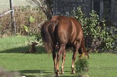 Size Matters ! Fox and a horse. (Natimages) Tags: horse fox redfox farm farmanimals visitor wildanimal pentax pentaxk3 k3 da3004