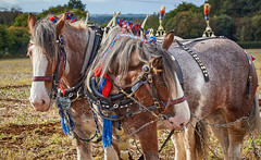 DSC05615 (Andy Oldster) Tags: eashing godalming farm plough ploughing heavyhorses shire sony alpha a65 slt