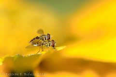 Hover-lovin' (dbifulco) Tags: copulating flower garden hoverfly macro mating nature newjersey nikkor105f28 pair rudbeckia two wildlife yellow