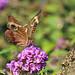 Common Buckeye Portrait