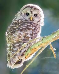 Morning Glow (mLichy911) Tags: barred owl wild wildlife portrait nature pnw wa seattle bird raptor canon 7dmarkii 500f4 igotmyeyeonyou stare backlit morning summer detailed glow