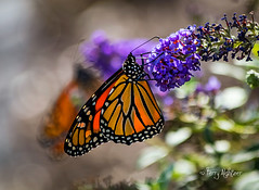 Monarch With Monarch Bokeh (Terry Aldhizer) Tags: monarch migration autim butterfly butterflies bokeh mad for roanoke virginia nature insect terry aldhizer wwwterryaldhizercom