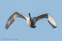 Mute Swan in flight (Kevin James54) Tags: cygnusolor lakegalena muteswan nikond500 peacevalleypark tamron150600mm animals avian bird kevingianniniphotocom swan