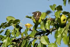 Groer Schillerfalter (Apatura iris) (kalakeli) Tags: butterflies schmetterlinge apaturairis groserschillerfalter biosphrenreservat biosphrenreservatmittlereelbe biosphrenreservatmittelelbe mittlereelbe naturschutzgebiet biospherereserve klieken fauna halle saale