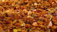 Autumn leaves (Matthieu Toulemonde) Tags: autumn tring rx10 sony england trees leaves free picture