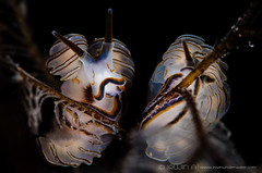 C O U P L E (irwinunderwater) Tags: irwinunderwater irwinang irwinfansclub underwaterphotography scubadiving photooftheday iamnikon nikonasia underwater uwphoto natgeo nudibranch picoftheday bali macro couple sealife doto indonesia donut seaslug tulamben   padi marinelife scubalife divelife greatshot lighting
