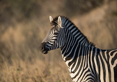 Plains Zebra, Equus quagga, Hwange National Park, Zimbabwe (Jeremy Smith Photography) Tags: burchellszebra commonzebra equusquagga hwangenationalpark jeremysmith jeremysmithphotographycouk plainszebra zimbabwe jeremysmithphotography