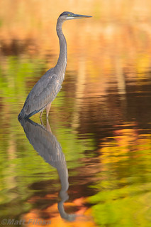 Juvenile Great Blue Heron's First Fall Foliage