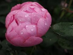 """Rosa """"Skylark"""" (tgrauros) Tags: göteborg gothenburg konungariketsverige lund skylark suècia sverige sweden trädgårdsföreningen gardensocietyofgothenburg"""
