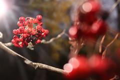 Autumn (tigertrams.se) Tags: autumn leaves berries sun sunray red nature coast sweden bohuslan lysekil