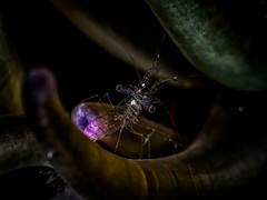 PA121925 (Jeannot Kuenzel) Tags: jeannotkuenzel jeannot kuenzel wwwjk4unet jk4u malta scuba under water underwater diving photography macro supermacro olympus epl5 zen port leica dg macroelmarit 45mm f28 asph ois inon z240 240z ucl165 s2000 moods aliensofthesea aliensofthedeepblue alien deep blue mediterranean sea maltaunderwater maltaunderwatermacro maltaunderwaterphotography bestmaltaunderwaterpictures maltamacro underwaterphotography maltascubadiving supermacrophotography underwatersupermacro underwateralien underwaterworld underwatercreature underwatermacro extrememacro superextrememacro