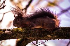 Relax (Florian Grundstein) Tags: natur eichhrnchen squirrel tree baum oberpfalz upperpalatinate wallpaper bayrischerwald bayerwald details portrait animal fauna natural sunshine cute sweet kuschelig haarig