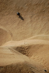 Egyptian Beetle crawling on Sand (gilmorem76) Tags: egypt desert wildlife nature insect beetle scarab travel sahara tourism africa middle east