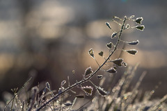 Frosty morning (Infomastern) Tags: sdersltt cold frost heart hjrta kallt macro makro natur nature exif:model=canoneos760d exif:aperture=71 geocountry camera:make=canon exif:isospeed=100 camera:model=canoneos760d exif:lens=ef100mmf28lmacroisusm exif:focallength=100mm geostate geocity geolocation exif:make=canon