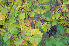 Green to red (Notquiteahuman1) Tags: nature whine cultivation leafs green yellow red brown autumn natureza vinho plantacultivada folhas verde amaerlo vermelho marrom outono natur wein weinberg vineyard kultiviert bltter grn rot gelb braun herbst natrlich nikond610 nikkor3570mmf28af color colorful afternoon overcast tag nachmittag day dia luzdodia
