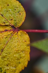 Autumn contrast (Tom Slate) Tags: hibiscus autumncolor contrast bokeh colorcontrast waterdroplet morningdew