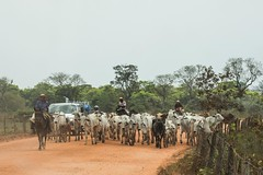Driving Cattle Along The Dusty Transpantaneira Road Brazil (Barbara Evans 7) Tags: driving cattle along the transpanteneira highway pantanal brazil barbara evans7