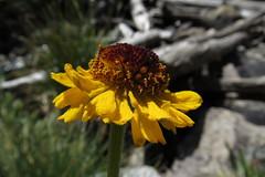 Bigelow's sneezeweed, Helenium bigelovii (jlcummins - Washington State) Tags: johnmuirwilderness backpack california inyonationalforest sierranevadamountains hike bigelowssneezeweed heleniumbigelovii wildflower