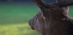Everything under control (pe_ha45) Tags: hirsch rothirsch reddeer cervuselaphus cerflaphe ciervocomn cervonobile edelhert veadovermelho