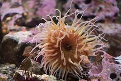 sea anemone (jeff's pixels) Tags: seaanemone ocean aquarium sea water
