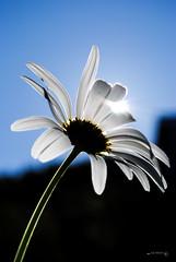 Backlit daisy HMM - Explored 25-10-2016 (Anne Rusten) Tags: backlit macromondays nikon flower daisy macro
