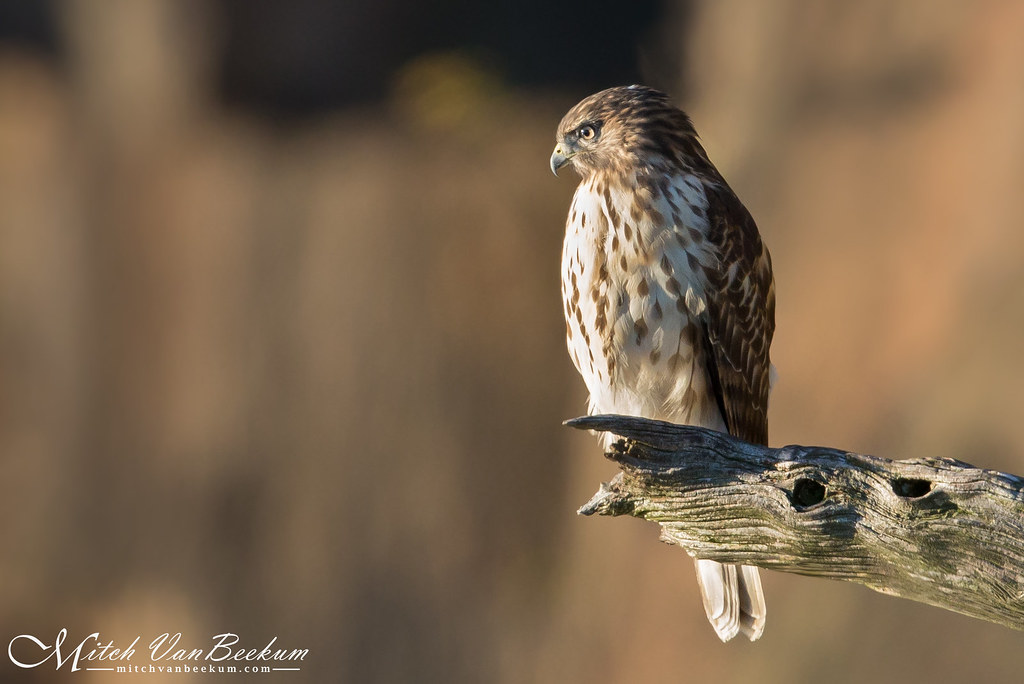 Juvenile Red-Shouldered Hawk (Explored)